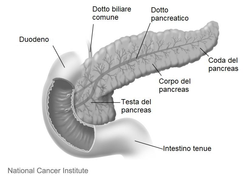 Struttura del pancreas. Fonte immagine: Don Bliss, National Cancer Institute