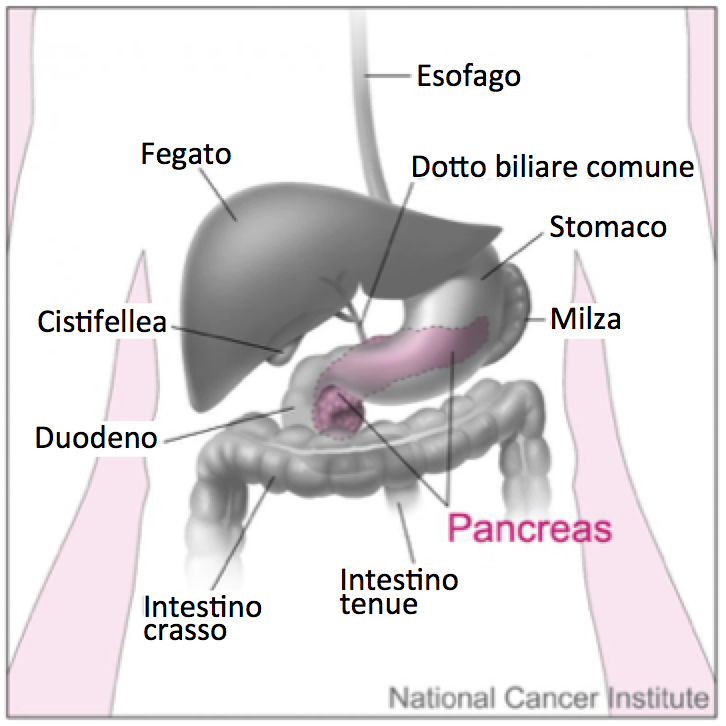 Posizione del pancreas. Fonte immagine: Don Bliss, National Cancer Institute